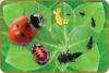 GIANT LIFE CYCLE PUZZLE - LADYBIRD